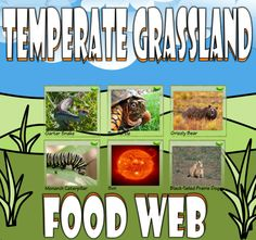 Bring the Temperate Grassland to your classroom with this card sort activity. The activity utilizes 24 real-life pictures that will help students create a food chain and/or web.