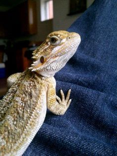 Don Spyro Corleone's first day home - 7 month old bearded dragon