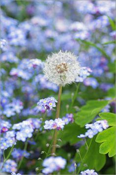 Tanja Riedel - Pusteblume in Vergissmeinicht Blumen Teppich