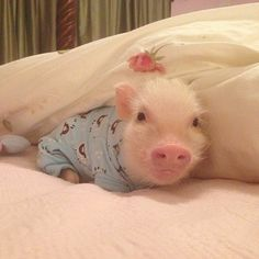 """look how cute piglets are😭 someome getme one"" Cute Baby Pigs, Cute Piglets, Baby Animals Super Cute, Cute Little Animals, Cute Funny Animals, Cute Babies, Baby Piglets, Baby Animals Pictures, Cute Animal Videos"