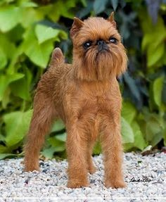 Brussels Griffon -- These are the best dogs in the whole world!  Definitely going to get one when I get older <3