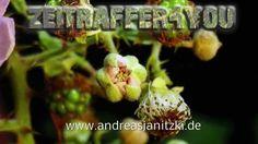 Brombeeren Rubus sectio Rubus Blackberry Timelapse Zeitraffer Blooming