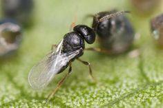 mushi-akashi. Telenomini, Telenomus sp. ♂ Host: Elasmostethus nubilus