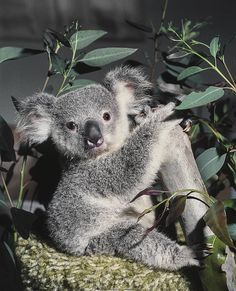 1977 - Keepers hand-rear a koala joey named Gumdrop.