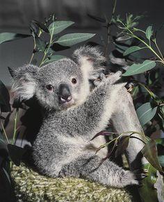 1977 - Keepers hand-rear a koala joey named Gumdrop. #koala #australia #koalafans #koalalovers #adorable #cute