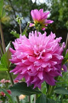 Dahlia 'Elsie Huston'