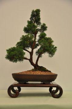 Juniperus chinensis Sargentii - Shimpaku juniper