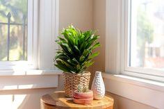 House Plant Care, House Plants, Madagascar Dragon Tree, Feng Shui Plants, Types Of Houseplants, Dracaena Plant, Corn Plant, Growing Plants, Plant Decor