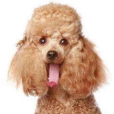 Beautiful Golden Poodle Dog