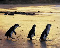 st kilda penguins sunset