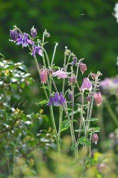 Perfect  Garten Liebe Die Akelei