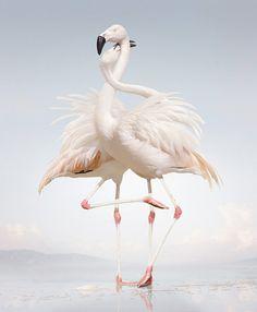 Flamingos, simen johan
