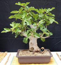 common_fig_bonsai