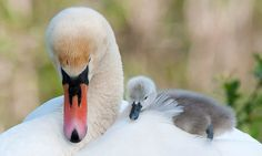 'Can I sleep here, Mum?' Wonderful photograph captures the moment a cute baby swan shuns its nest and decides to rest on its mother's back  Read more: http://www.dailymail.co.uk/news/article-2162840/Cute-swans-Cygnet-wakes-mothers-Kingsteignton-Devon.html#ixzz4kMMEw6MO  Follow us: @MailOnline on Twitter   DailyMail on Facebook