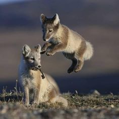 Photographic Print: Arctic Foxes (Vulpes Lagopus) Juveniles Playing, Wrangel Island, Far Eastern Russia, August by Sergey Gorshkov : 16x16in