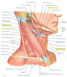 Shoulder muscles and chest - human anatomy diagram | Workout ...