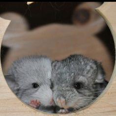 More chinchilla babies
