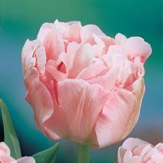 Tulip | Flowers Flower Bulbs Tulip Bulbs Tulip 'Angelique'