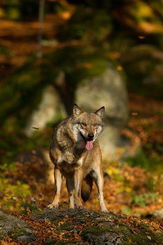 ☀European Brown Wolf by Louise Greenhorn