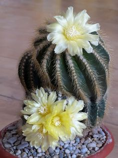 Cacto Ferocactus (Ferocactus orcutii)