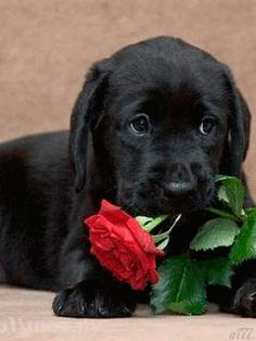 """Check out our site for even more details on """"labrador retriever"""". It is an outstanding location to read more. Cute Labrador Puppies, Black Lab Puppies, Cute Dogs And Puppies, Baby Dogs, Doggies, Cute Funny Animals, Cute Baby Animals, Animals And Pets, Beautiful Dogs"""