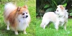 Ash and Shay is an adoptable Pomeranian Dog in Vernonia, OR. These dogs are being placed as a bonded pair. Ash is the orange Male Pom and Shay is the cream Pom/Chi. They will only be placed in a hom...