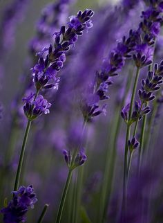 Lavender by __KAREN__, via Flickr