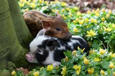 """Piglets from the """"Little Pig Farm"""" in Christchurch, Cambridgeshire. (Photographer: Geoff Robinson)"""