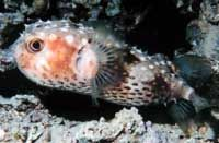 Saltwater Porcupine Puffer Fish, Diodon holacanthus.