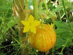 Αγγούρι σπορά φύτεμα καλλιέργεια
