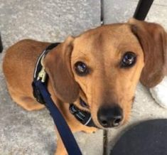 Dachshund And Jack Russell Terrier Mixed Dog For Adoption In West