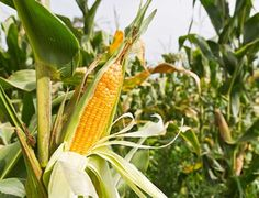 planta de maiz - Buscar con Google
