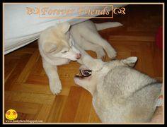 funny husky pictures, siberian husky, husky, husky puppy, siberian husky puppy, cute, funny