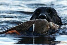 sorsanouto duck retrieve