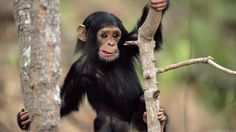 Endangered baby chimpanzee being hunted for their bush meet in many of the African cultures rain forest animals Tier Wallpaper, Monkey Wallpaper, Animal Wallpaper, Primates, Mammals, Safari Animals, Cute Baby Animals, Funny Animals, Wild Animals