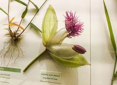Glass Flowers of Harvard The Ware Collection of Blaschka Glass Models of Plants, popularly know as the Glass Flowers is in the Harvard Museum of Natural History, located in Boston MA.
