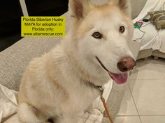 #Florida #Siberian #Huskies like MAYA for #adoption in #FL only.  Apply to #adopt here: http://www.siberrescue.com/