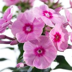 Phlox paniculata 'Early Start™ Pink' Early Start Pink Garden Phlox from Prides Corner Farms May Flowers, Pink Flowers, Beautiful Flowers, Phlox Perennial, Perennials, Ornamental Cabbage, Planting Flowers, Flowering Plants, White Flower Farm
