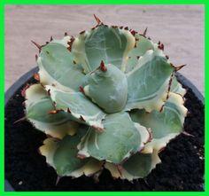 Agave-Isthmensis-kabutogani-variegated