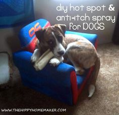DIY hot spot & anti-itch spray for dogs. This sounds really good, but that many essential oils seems pricey. Either way, I like the holistic approach and my poo. Benadryl For Cats, Essential Oils Dogs, Itchy Dog, Coconut Oil For Dogs, Oils For Dogs, Dog Itching, Diy Stuffed Animals, Dog Care, Baby Care
