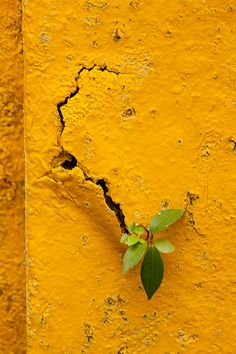 Small plant growing through crack in turmeric yellow wall
