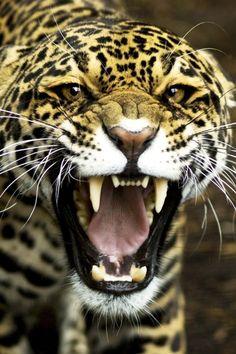 Jaguar - #angry
