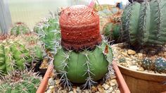 Melocactus bahiensis Cactus Flower, Coconut, Fruit, Flowers, The Fruit, Floral, Royal Icing Flowers, Florals, Flower