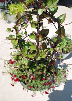 Information on growing malabar spinach