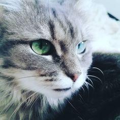 Tellement de beau yeux qu'on dirait que des yeux sont vairons  #lilou #chat #cat #love  by @amelinelcs