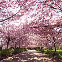 """""""Vi elsker de japanske kirsebærtræer ved Bispebjerg Kirkegård - godmorgen til smukke København og en ny spændende uge #bispebjergkirkegård #kirsebærtræ…"""""""