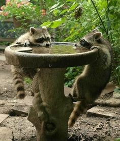 Raccoons getting a drink - This explains why the top of our birdbath is always on the ground in the morning!