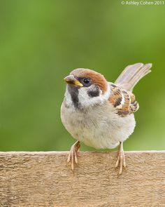 Tree Sparrow Juvenile - Something Bright from the Summer by Ashley Cohen Photography, via Flickr