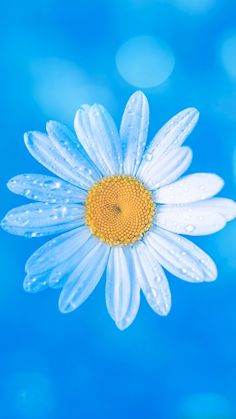 White daisy on blue background Blue Flower Wallpaper, Blue Wallpaper Iphone, Sunflower Wallpaper, Beach Wallpaper, Blue Wallpapers, Trendy Wallpaper, Cloud Wallpaper, Screen Wallpaper, Happy Flowers