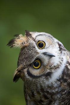 Great Horned Owl - Darrel Gulin Photography | Gallery | Birds